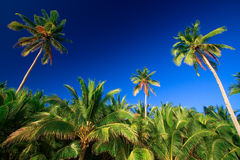 Tropical palm tree paradise. Emerald green palm trees towering in front of a deep blue sky beside a white sand beach. The perfect place for relaxing. Room for Stock Photos