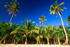 Tropical palm tree paradise. Emerald green palm trees towering in front of a deep blue sky beside a white sand beach. The perfect place for relaxing. Room for Royalty Free Stock Photos
