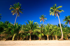 Tropical palm tree paradise. Emerald green palm trees towering in front of a deep blue sky beside a white sand beach. The perfect place for relaxing. Room for Stock Photography