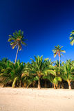 Tropical palm tree paradise. Emerald green palm trees towering in front of a deep blue sky beside a white sand beach. The perfect place for relaxing. Room for Royalty Free Stock Image