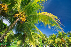 Tropical palm tree paradise. Emerald green palm trees towering in front of a deep blue sky beside a private pool. The perfect place for relaxing. Room for text Royalty Free Stock Photos