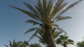 Tropical palm tree. On sal island in cape verde stock footage