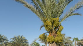 Tropical palm tree. On sal island in cape verde stock video