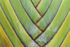 Tropical palm tree stalk closeup. Tropical travelers palm tree stalk closeup Stock Photography