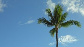Tropical palm tree swaying in the breeze with copyspace. A palm tree blows in a light wind on a summer day, with copyspace / text space to the left stock video footage