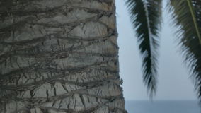 Tropical Palm Tree Trunk San Remo Italy stock video