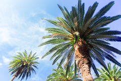 Tropical palm tree Royalty Free Stock Images