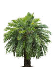 Tropical palm tree on white Stock Image