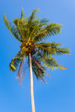 Tropical Palm tree in the wind Royalty Free Stock Photo