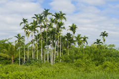 Tropical palm trees Royalty Free Stock Image