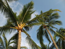 Tropical Palm Trees Stock Images