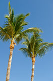 Tropical Palm trees. Low angle view of two tropical palm trees with blue sky background Royalty Free Stock Photos