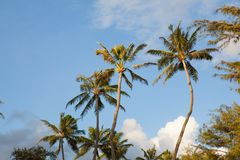 Tropical Palm trees against a blue sky with clouds. Palm trees on a tropical island reach up to the blue sky Stock Photos