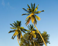 Tropical palm trees against a blue sky Royalty Free Stock Images