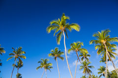 Tropical palm trees against clear blue sky Stock Photography