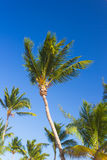Tropical palm trees against clear blue sky Stock Image
