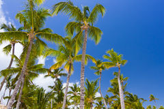Tropical palm trees against clear blue sky Royalty Free Stock Photography
