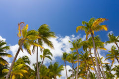 Tropical palm trees against clear blue sky Royalty Free Stock Image