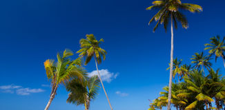 Tropical palm trees against clear blue sky Royalty Free Stock Images