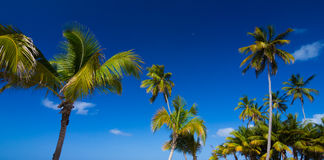 Tropical palm trees against clear blue sky Royalty Free Stock Photo