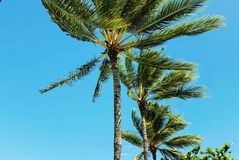 Tropical palm trees against clear blue sky. Row a coconut palm trees, low angle view, on a sunny clear day Stock Photo