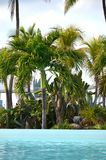 Cocos nucifera coconut palm tree tops and crowns against clear blue sky in a tropical location. royalty free stock images