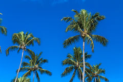 Tropical palm trees in the blue sky Stock Images