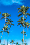 Tropical palm trees in the blue sky Royalty Free Stock Photography