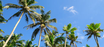 Tropical palm trees and blue sky Royalty Free Stock Image