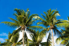 Tropical palm trees in the blue sunny sky Stock Photos