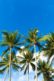 Tropical palm trees in the blue sunny sky Royalty Free Stock Photography