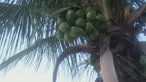 Tropical Palm Trees. With coconuts stock video footage