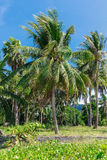 Tropical palm trees with coconuts on beautiful blue sky Royalty Free Stock Photography
