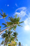 Tropical palm trees with coconuts over sky background Royalty Free Stock Photos