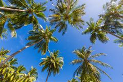 Tropical palm trees from a low point of view. Looking up palm trees under blue sky. Coconut palm trees perspective view. Blue sky and green palm trees and Royalty Free Stock Images