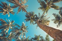 Tropical palm trees from a low point of view. Looking up palm trees under blue sky. Coconut palm trees perspective view. Blue sky and green palm trees and Stock Images