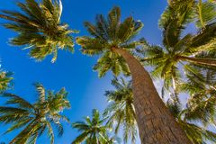 Tropical palm trees from a low point of view. Looking up palm trees under blue sky. Coconut palm trees perspective view. Blue sky and green palm trees and Stock Photo