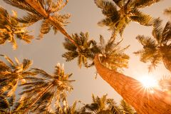 Tropical palm trees from a low point of view in sunset. Looking up palm trees under blue sky. Coconut palm trees perspective view. Blue sky and green palm trees Royalty Free Stock Photo