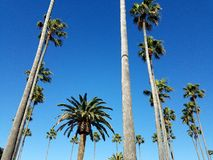 Tropical Palm Trees Near Beach California Formation. Palm trees in formation near park on sunny day Stock Photos