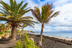 Tropical palm trees on Playa Blanca coastal promenade Stock Photography
