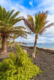 Tropical palm trees on Playa Blanca coastal promenade Stock Photo