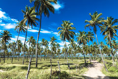 Tropical palm trees in Porto de Galinhas, Brazil Stock Images
