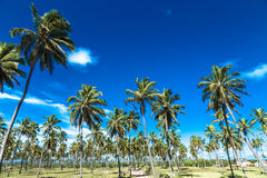 Tropical palm trees in Porto de Galinhas, Brazil Royalty Free Stock Photography