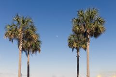Tropical Palm Trees reveal a distant, daytime moon. Stock Photos