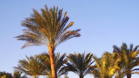 Tropical Palm Trees on Sky Background in Desert stock video footage