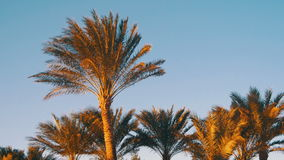 Tropical Palm Trees on Sky Background in Desert. Palm trees on a background sunset sky. Tropical countries Egypt, the leaves of the palm trees swaying in the stock video footage