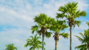 Tropical palm trees on sky background. Video 1920x1080 - Tropical palm trees on sky background stock video footage