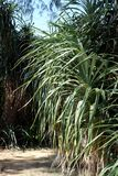 Tropical Palm Type Plant Pointy thin Leaf. A thick deeply layered tropical plant with many thin pointy leaves growing as a bush on the sand of a tropical island stock photos