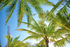Tropical Palmtree Royalty Free Stock Photography