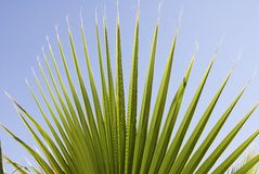 Tropical Paradise. A spiky palm leaf against blue arizona sky Royalty Free Stock Photography